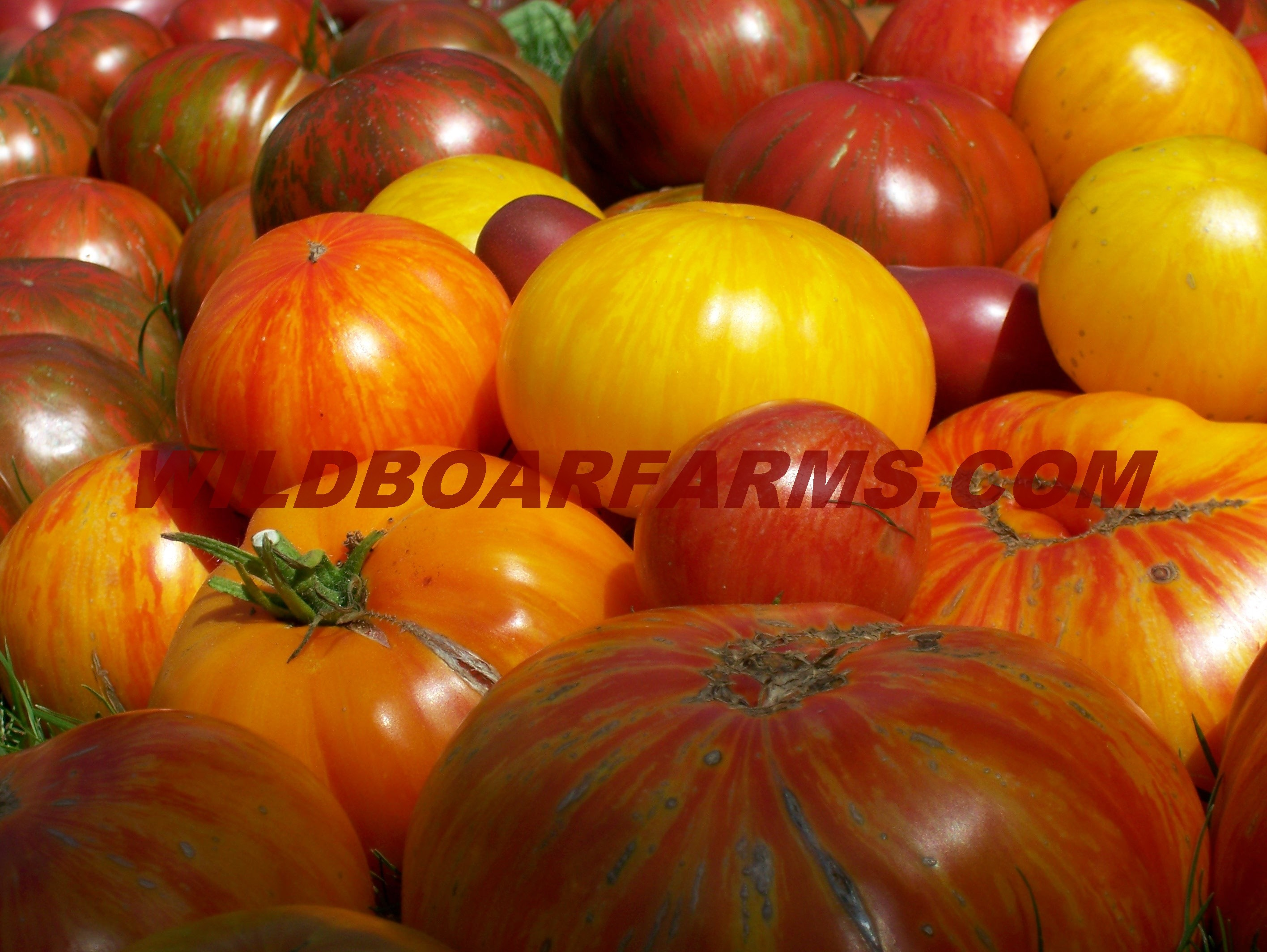 Wild Boar Farms Tomatoes 08