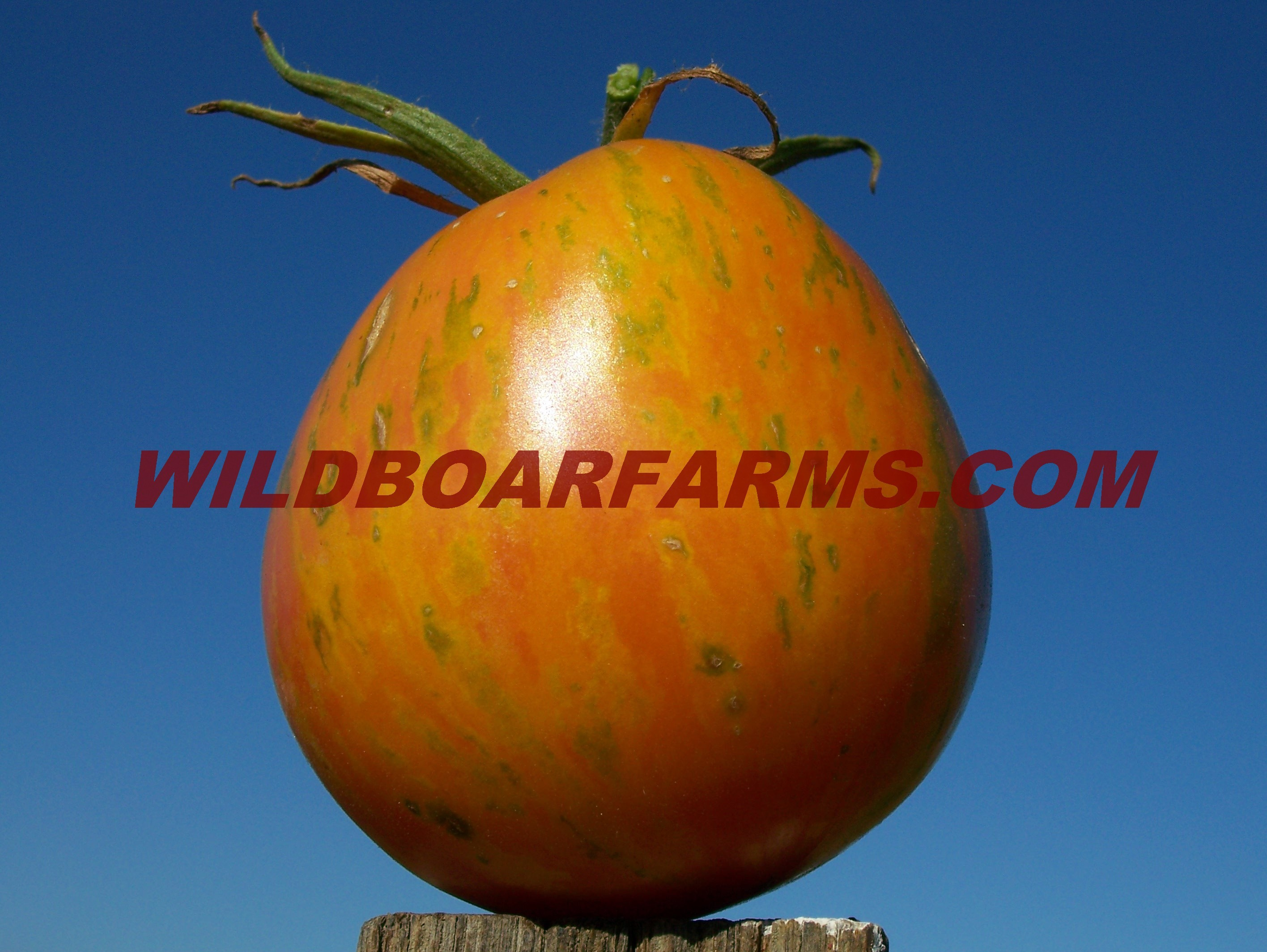 Wild Boar Farms Tomatoes 10