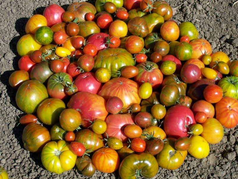 Wild Boar Farms Tomatoes 11