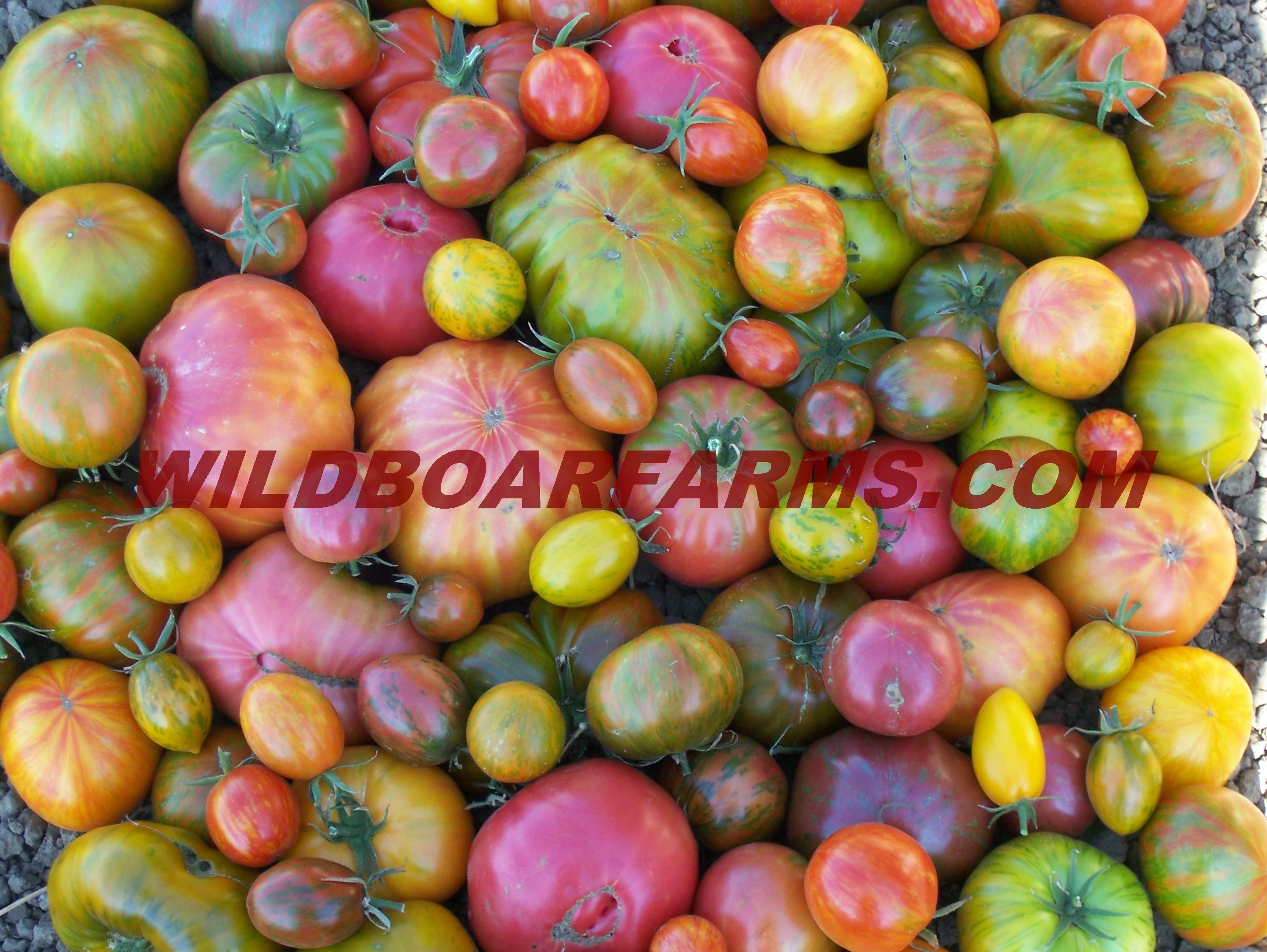 Wild Boar Farms Tomatoes 12