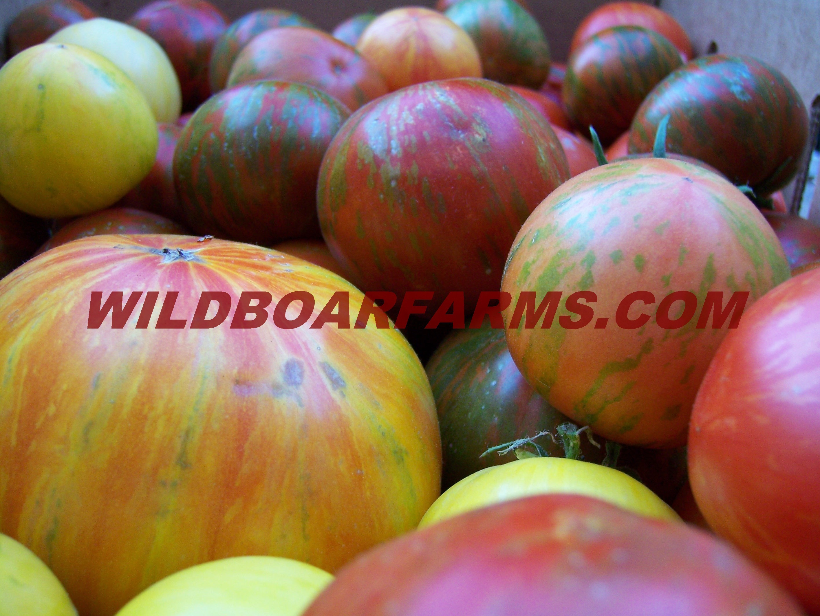 Wild Boar Farms Tomatoes 17