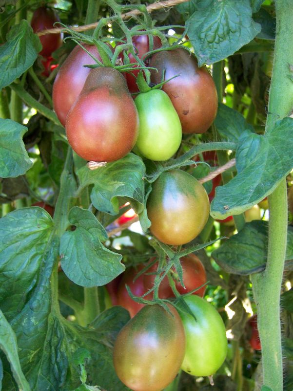 Wild Boar Farms Tomatoes 20