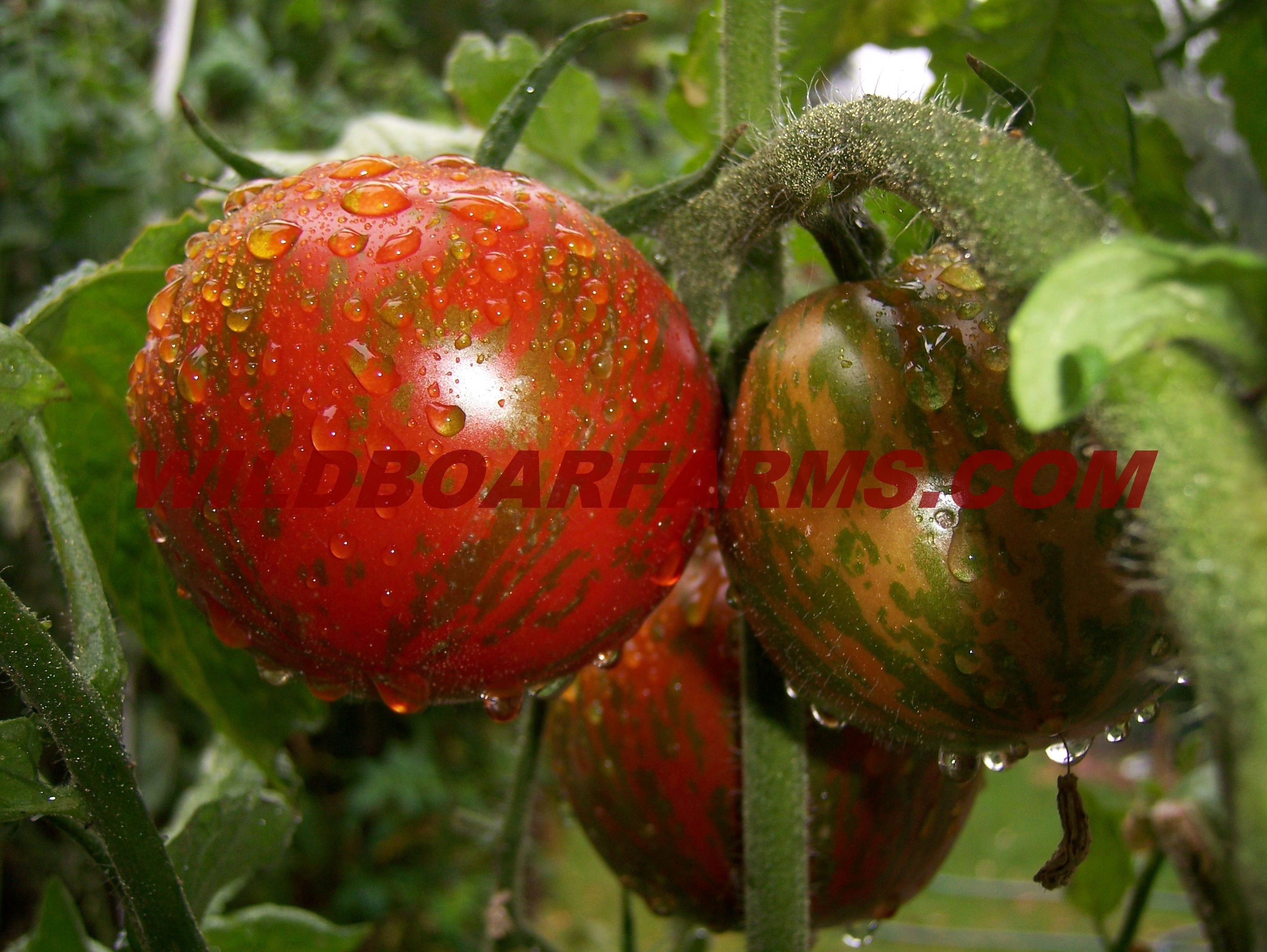 Wild Boar Farms Tomatoes 22