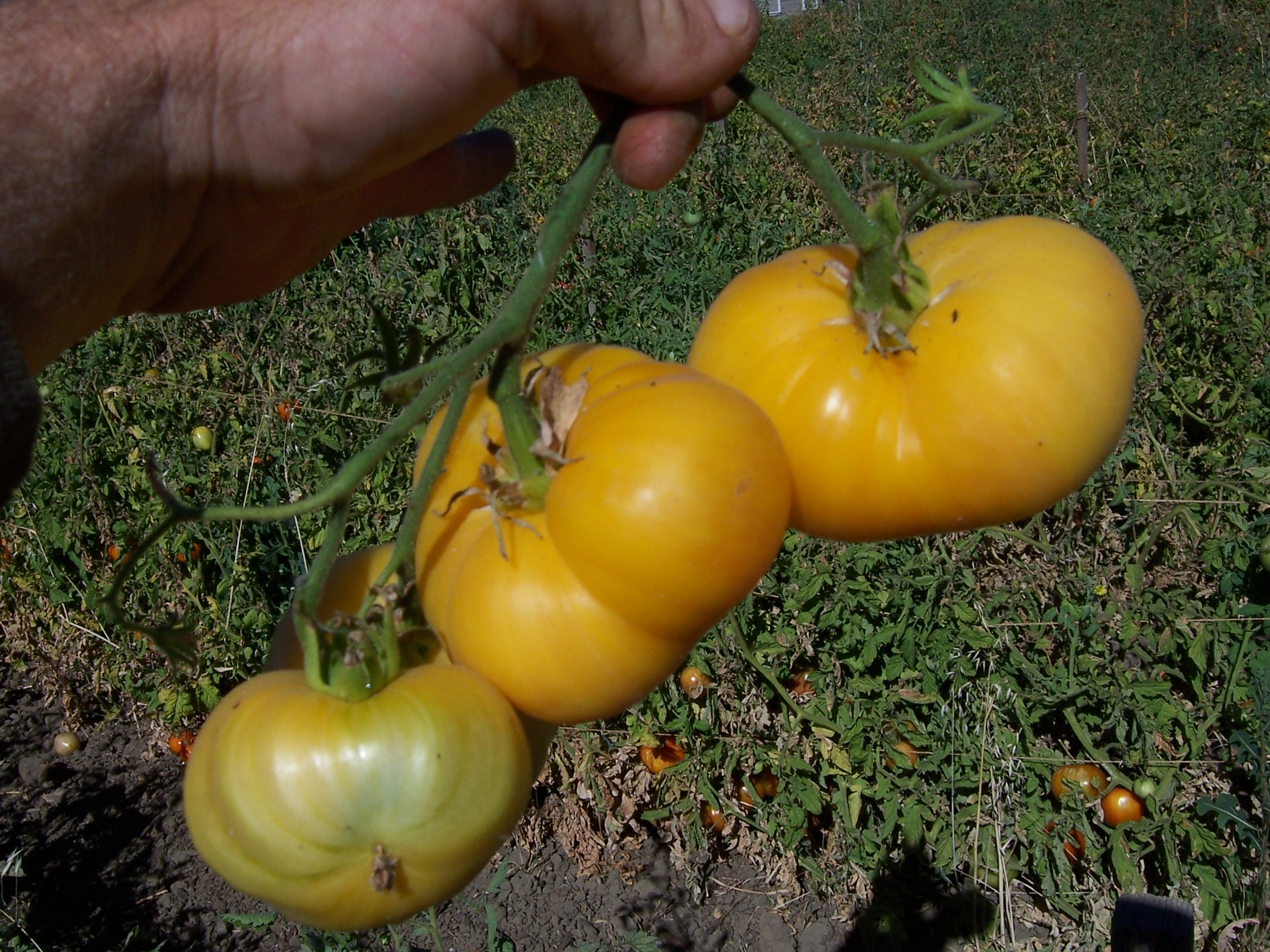 Wild Boar Farms Tomatoes 61