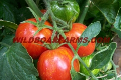 Wild Boar Farms Tomatoes 18