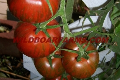 Wild Boar Farms Tomatoes 23